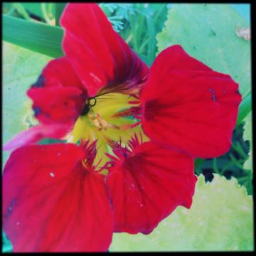 Sangriaflower